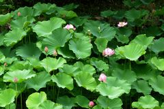 Water lily in Kyoto stock photo