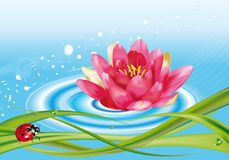 Water lily and ladybug Royalty Free Stock Images