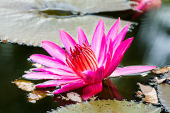 Water lily in the lagoon Royalty Free Stock Photography