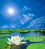 Water-lily on a lake Royalty Free Stock Photos