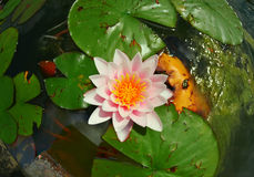 Water lily in lake Royalty Free Stock Images