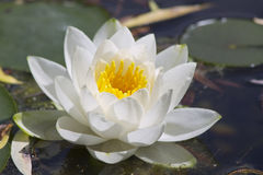 Water Lily. On a lake Stock Image