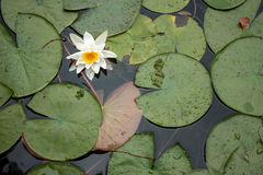 Water lily in the lake Stock Images
