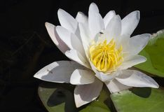 Water lily on the lake Stock Photo