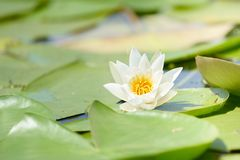 Water lily in the lake Stock Image