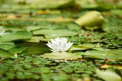 Water lily in the lake Royalty Free Stock Photos