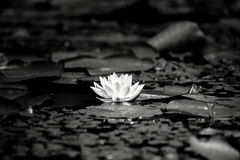 Water lily in the lake Royalty Free Stock Images