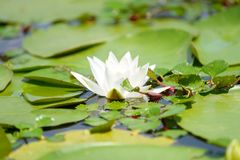 Water lily in the lake Royalty Free Stock Image