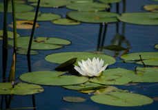 Water lily on the lake Royalty Free Stock Photos