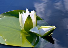 Water lily on the lake. Royalty Free Stock Images