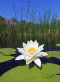 Water lily on lake Stock Images