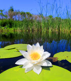 Water lily on lake Stock Image