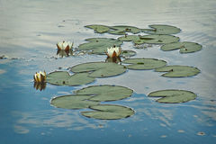 The  water lily on the lake. Numphaea candida. Stock Images