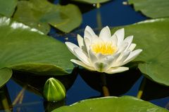 Water lily on a lake. Water lily Nymphaea alba on a lake in a summer day Royalty Free Stock Photos