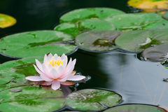 Water lily in lake Stock Photo