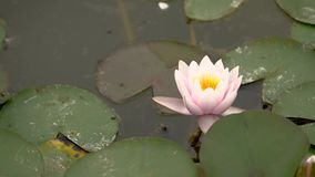 Water lily on the lake in summer stock video footage