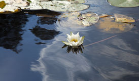 Water lily on lake surface. Water lily Nymphaea tetragona on lake surface royalty free stock photography