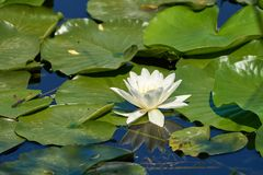 Water lily on a lake. Water lily Nymphaea alba on a lake in a summer day Stock Photo