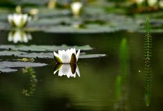 Water lily on a lake Royalty Free Stock Image