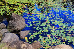 Water lily landscape Stock Image