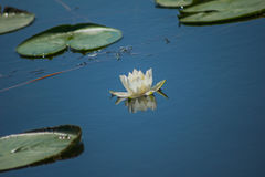 Water lily. In a large lake of water lilies floating water lily Stock Photography