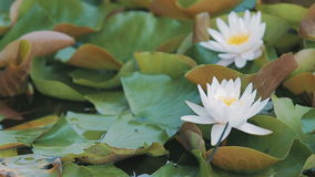 Water lily lat. Nympha panorama stock video footage