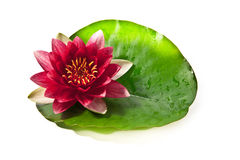 Water lily with leaf Royalty Free Stock Photos