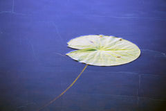 Water lily leaf Royalty Free Stock Image