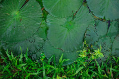 Water lily leaf on boarder with grass Royalty Free Stock Photography