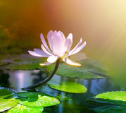 Water lily with leaf Stock Images