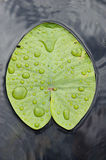 Water lily leaf. Stock Image