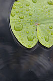 Water lily leaf. Stock Photos