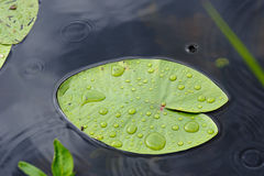 Water lily leaf. Royalty Free Stock Image