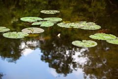 Water lily leaf Stock Image