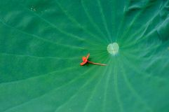 Water lily leaf with a red small flower laying on it royalty free stock photos