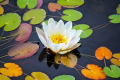 Water lily among leafs Stock Image