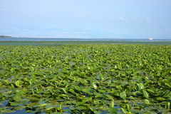 Water lily leafs. Wonderful lilies on the Skadar Lake in Montenegro Stock Images