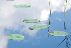 Water Lily leaves Royalty Free Stock Images