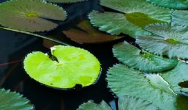 Water Lily Leaves Royalty Free Stock Image
