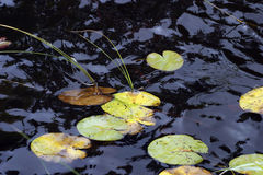 Water lily leaves. Stock Photo
