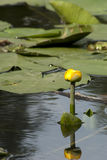Water lily among the leaves. At a pond Stock Photography