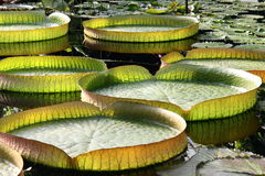 Water Lily Leaves Stock Photos