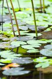 Water lily leaves. Waterlily leaves floating in a pond stock photography