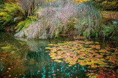Water lily leaves and bare tree in a small pond in autumn, cover Royalty Free Stock Photos