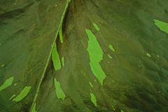 Water lily leaves Stock Images