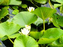 Water lily. And leaves Danube Delta water Stock Image