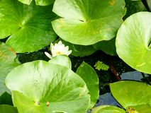 Water lily. And leaves Danube Delta water Royalty Free Stock Photography