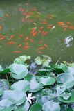 Water lily leaves and fish Stock Images