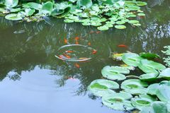 Water lily leaves and fish Royalty Free Stock Photography