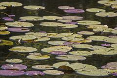Water lily leaves on the water Royalty Free Stock Photography